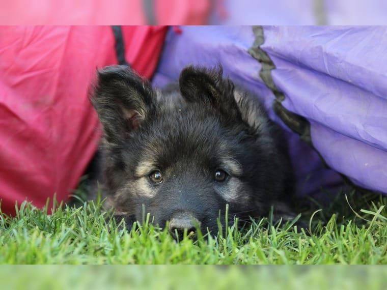 schwarzer schäferhund welpe