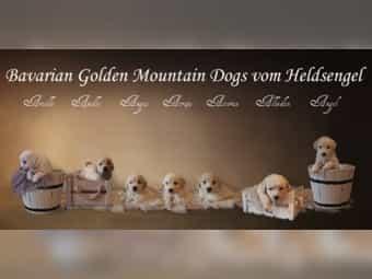 Golden Retriever Pyrenäenberghundwelpen