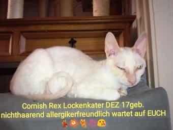 Cornish Rex Lockenkater nichthaarende crempoint