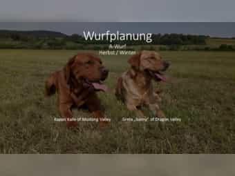 Wurfplanung Labrador in