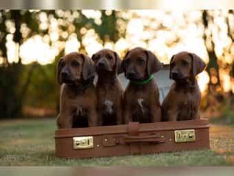 Rhodesian Ridgeback In Sarstedt Hunde Kaufen Verkaufen Auf