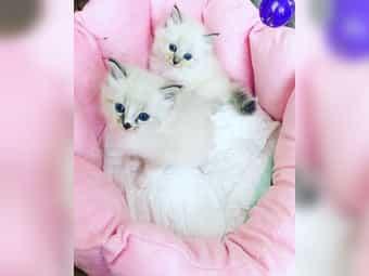 Sibirische Katzen Neva Masquerade