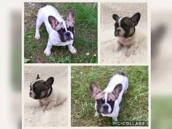 Mini Französische Bulldoge sucht ein