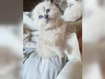 Ragdoll Kitten Kater mit Stammbaum