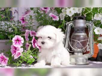Süße kleine Mini Malteser Welpen