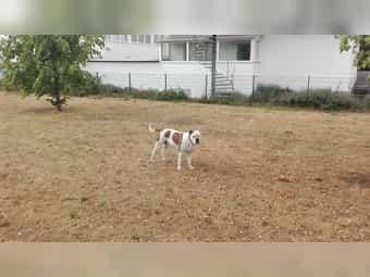 Brutus bulldog Boxer Mix ohne