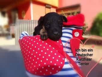 Deutsche Kurzhaar Terrier Welpen