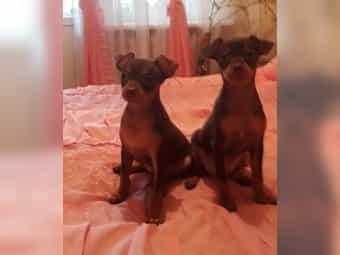 Russischer Toy Terrier Welpen mini
