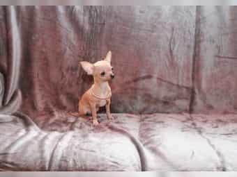 Teacup Chihuahua Welpen Extra Mini