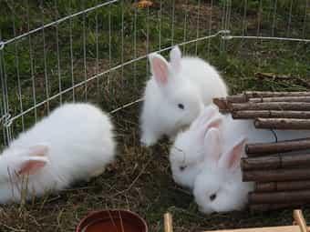 Angora-Kaninchen weiß BA Jungtiere