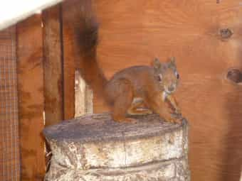 Eichhörnchen Bock aus 44-2017 rot