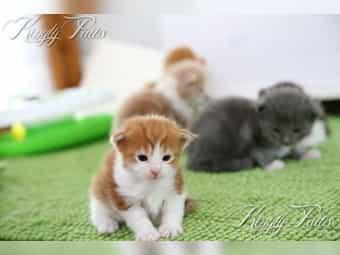 Maine Coon Kitten mit 1A-Stammbaum