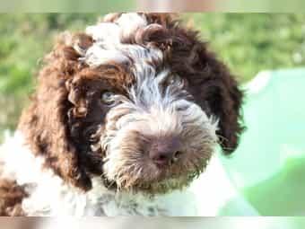 Der Spanischer Wasserhund mit FCI