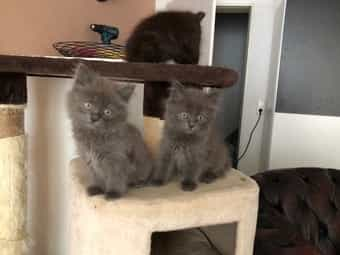 Katzenbabys ScottischFold TürkischAngora Mic
