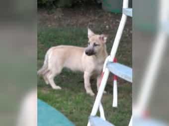 Altdeutscher Hütehund ×Cairn-Terrier