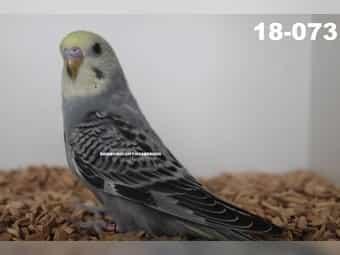 Wellensittich Klettergerüst : Wellensittiche in billerbeck tiermarkt tiere kaufen quoka