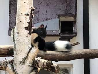 Europäische Eichhörnchen - Anfragen bitte ausschließlich