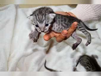 Ägyptische Mau - Bengal Mix Kitten