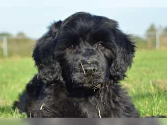 Portugiesischer Wasserhund Welpen VDH FCI