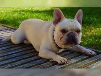 Französische Bulldogge Welpen Männlich Siegen Französische