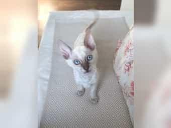 Cornish Rex Kitten passt gut