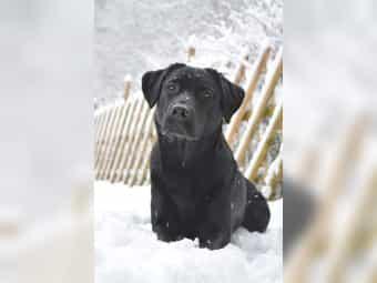 Wurferwartung Labrador Welpen schwarz braun