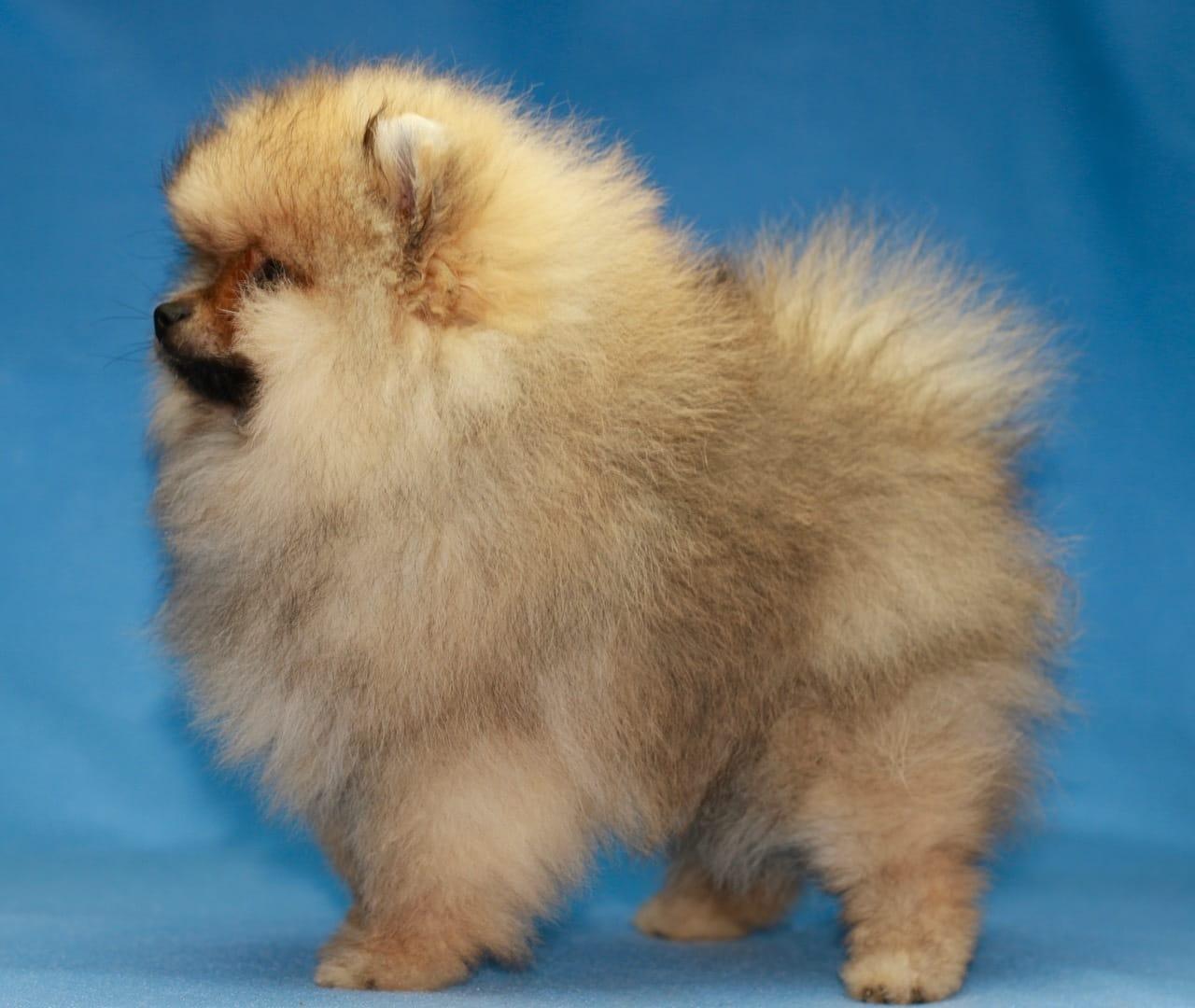 Mini Pomeranian Zwergspitz Welpen - Tel.:089 20 981 622