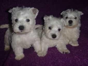 West Highland White Terrier Welpen