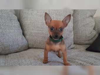 Russische Toy Terrier welpen Russkiy