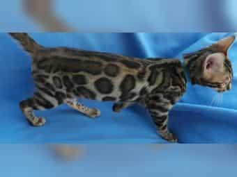 Bengal Kitten Kater reinrassig aus