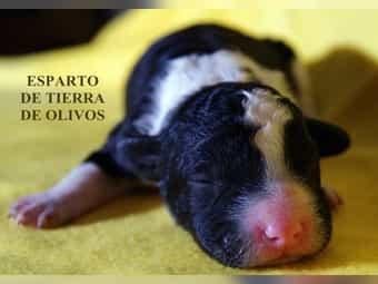 Spanischer Wasserhund mit FCI Auszeichnung