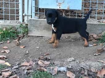 Terrier-Mix Welpen Mutter Patterdale Vater
