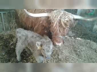 Highland Cattle Kuh mit Kalb