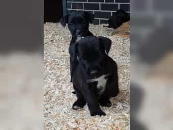 Jack Russell-Patterdale Terrier Welpen