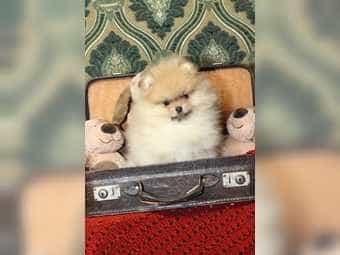 Zwergspitz Pomeranian Rüde zu verkaufen