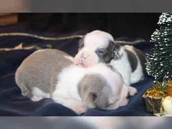 Boston Terrier Babys in Sonderfarben