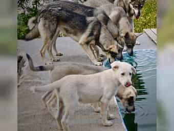 Hütehund Kanarische Wolfshund Welpen Lobo