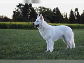 Weißer Schweizer Schäferhund Deckrüde Don