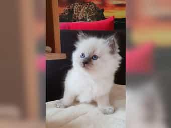 3 Ragdoll Kitten Katzenbabys