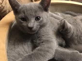Zauberhafte Russisch Blau Kitten
