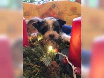 Kleine Mini Yorkshire Terrier besondere
