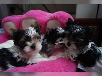Yorkshire-Terrier-Biewer-Mini