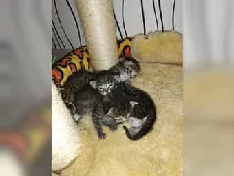 Kitten Bengal-Siam