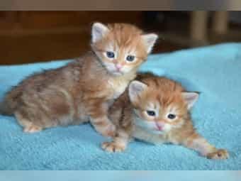 Sibirische Katzen Kitten mit Stammbaum