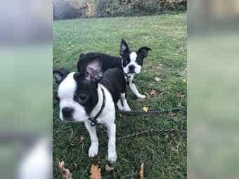 Boston Terrier Babys mit Ahnentafel