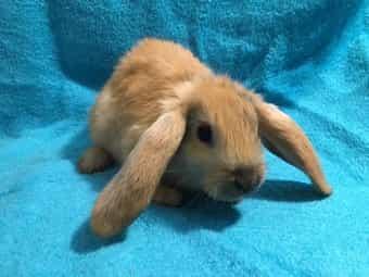 Zwergwidder Widder Kaninchen Kaninchenbabys Hasen