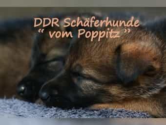 DDR - Schäferhund Welpen - 2 Hündinnen -