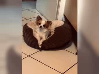 Süßer Langhaar Chihuahua Rüde 7