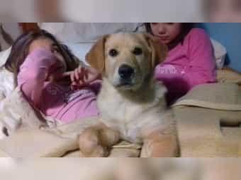 4 Monatige LORI Labrador Retriever