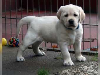 Gelbe Labrador Welpen suchen ihre